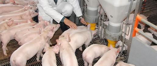 Tieraerzte_Verden_Schweinestall